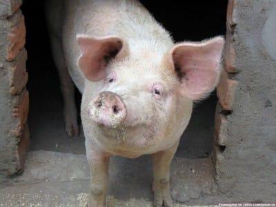 Мистическая история свинье-собаке