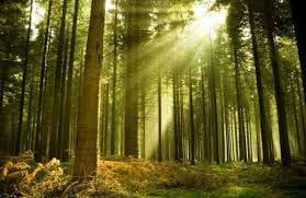 хвойного леса