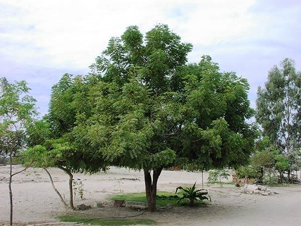 дерева Ним